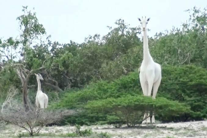 White female giraffe and calf killed by poachers in Kenya